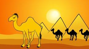 Chameaux de désert Image stock