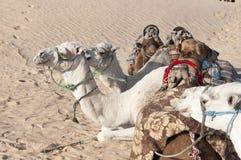Chameaux de désert photographie stock libre de droits