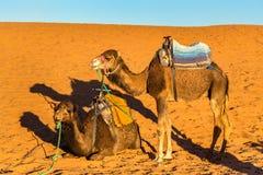 Chameaux de dromadaire se reposant aux dunes de Chebbi d'erg du désert du Sahara Merzouga, Maroc Photos libres de droits