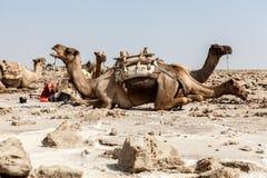 Chameaux de repos, désert de Danakil, Ethiopie Photographie stock libre de droits