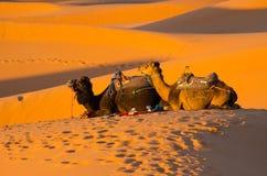Chameaux de repos dans le désert du Sahara Image stock