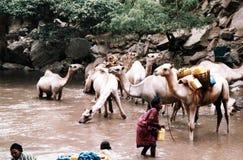 Chameaux de Sufi Omar photos stock