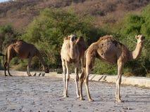 Chameaux en Ain Garziz, Oman Photographie stock libre de droits