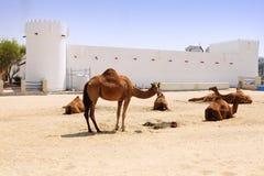 Chameaux en dehors de fort de Doha Photos stock