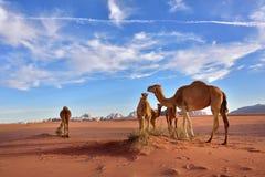 Chameaux en désert de Wadi Rum Photographie stock