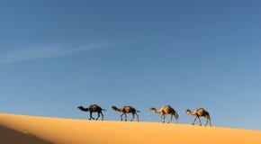 Chameaux en erg Chebbi, Maroc Photographie stock libre de droits