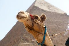 Chameaux en pyramide de Gizeh, Egypte Photographie stock libre de droits