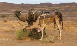 Chameaux mangeant l'herbe dans le désert du Sahara, Maroc Photos stock