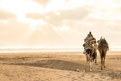 Chameaux marchant à la plage d'Essaouira, Morroco dans le coucher du soleil Photographie stock libre de droits