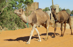 Chameaux marchant dans le village du Sahara Images stock