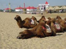 Chameaux multiples se situant dans une rangée dans le désert mongol photo libre de droits