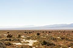 Chameaux sauvages dans le Qinghai Chine Images stock