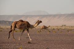 Chameaux sauvages dans les déserts de l'Arabie Saoudite photo stock