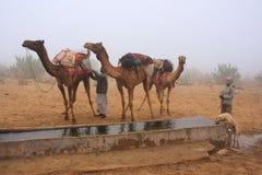 Chameaux se tenant prêt le réservoir d'eau dans un brouillard de matin, désert de Thar photographie stock