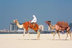 Chameaux sur la plage de Jumeirah, Dubaï Image stock