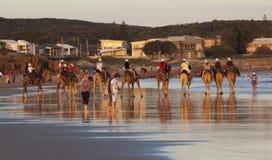 Chameaux sur la plage de Stockton.  Anna Bay. Australie. Photos stock