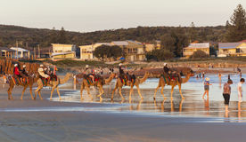 Chameaux sur la plage de Stockton. Anna Bay. Australie. Photographie stock libre de droits