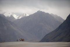 Chameaux sur le désert de sable, vallée de nubra Image libre de droits
