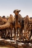 Chameaux sur le Marocain Sahara photographie stock