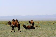Chameaux sur les steppes, Mongolie Photos stock