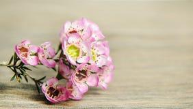 Chamelaucium rosado Waxflower foto de archivo libre de regalías