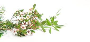 Chamelaucium Waxflower foto de archivo