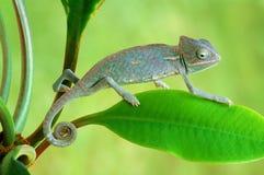 Chameleo calyptratus Stock Image
