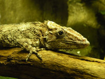 Chameleolis. A mature brown chameleolis (reptile Royalty Free Stock Image