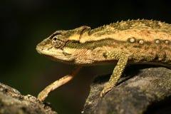 Chameleon ágil e furtivo no fundo preto Foto de Stock Royalty Free