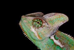 Chameleon 01 Royalty Free Stock Image