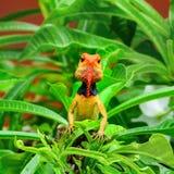 chameleon Stock Foto