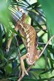 Chameleon. Brown chameleon on the tree Stock Images