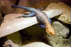 Chameleon immagine stock