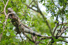 Chameleon. A chameleon rest on the tree branch Royalty Free Stock Photos