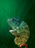 Chameleon. Bright Chameleon and green meadow stock image