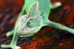 Chameleon Royalty Free Stock Photography