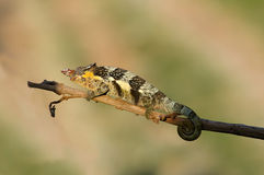 Chameleon. A beautiful chameleon in the serengeti National Park. Tanzania stock images