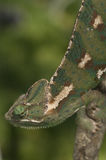 Chameleon. Resting on a  tree branch Stock Image