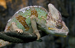 Chameleon 13 Royalty Free Stock Photos