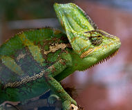 Chameleon 14 Royalty Free Stock Image