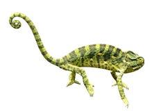 Chameleon. Green chameleon on white background Stock Photos