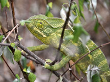 Chameleon. Green chameleon in a branch Royalty Free Stock Photography
