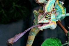 Chameleon. During a hunt on insects Stock Photography