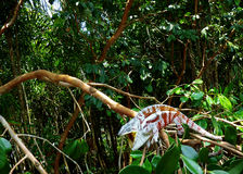 Chameleon. A coloured chameleon living in a tropical rainforest Stock Images