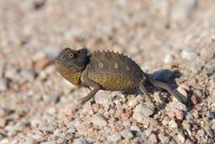 Chameleon Imagens de Stock Royalty Free