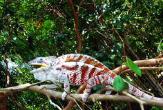 Chameleon. A coloured chameleon living in a tropical rainforest Stock Photo