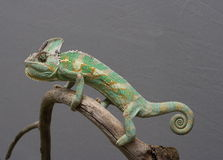 Chameleon. A chameleon sitting on an old branch with white matter in background Stock Photo