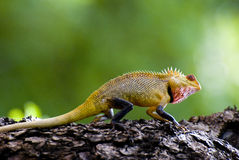 Chameleon. Immagine Stock