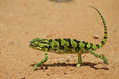 Chameleon. Walking across sand road, side view Royalty Free Stock Photo