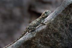 Chameleon. A gray chameleon on a rock Stock Images